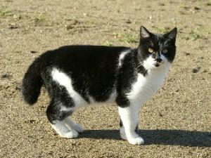 猫 白黒くん
