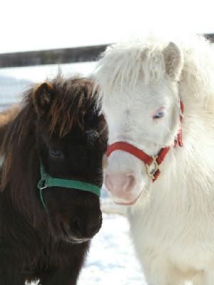白毛のポニー 小雪ちゃん 同期のお友達と