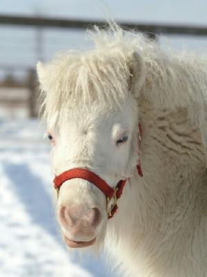 白毛のポニー 小雪ちゃん 2