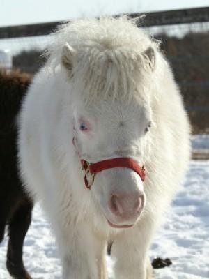白毛のポニー 小雪ちゃん 3