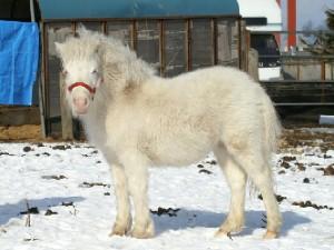 白毛のポニー 小雪ちゃん 1