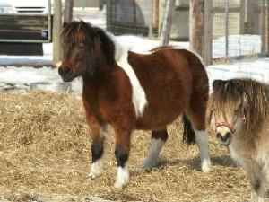 白毛のポニー 小雪ちゃんのお母さんと一緒に居た母馬の仔が…