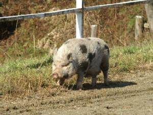 豚 灰色くん