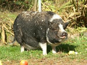 豚 黒色くん