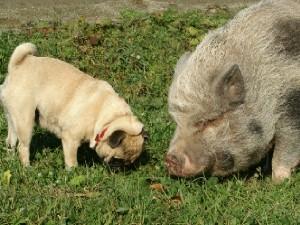 豚くんからパグちゃんに話して…